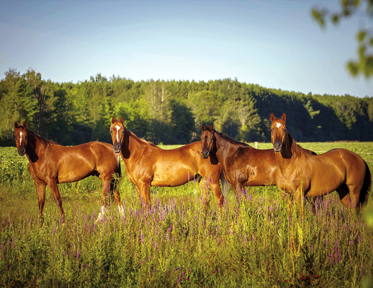cqha membership, canadian quarter horse association, sing up for cqha, subscribe to canadian horse journal