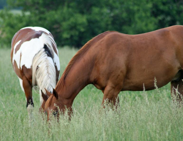 wendy pearson, horse feed, horse forage, horse pasture, herbs for horses, horse grains, mycotoxins horse, mycotoxins equine