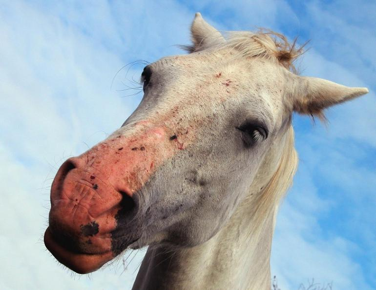 horse sunburn too much sun horse protect horse from sun equine photosensitivity winter turnout horse