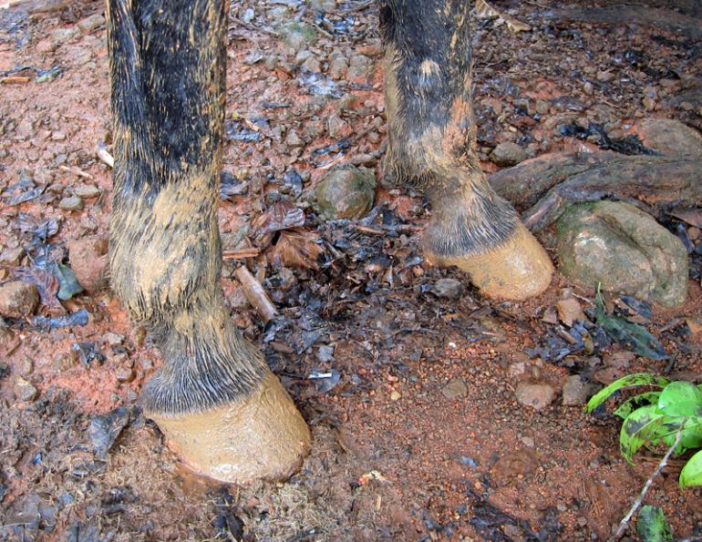 mud fever in horses, muddy horse feet, horse with mud fever, treating mud fever in a horse, pam mackenzie, lindsay grice