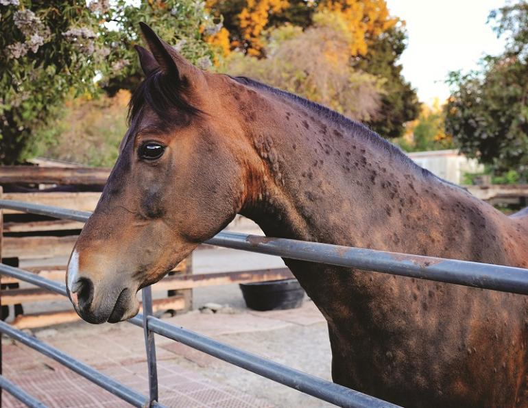 does my horse have allergies? stable allergies horses, how to reduce dust in horse barn, equine asthma, spirulina for horses