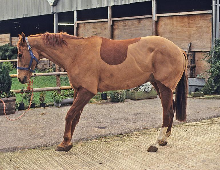 equine laminitis, horse laminitis, foundered horse, horse founder, horse sole support, hoof care, hoof support, coffin bone, horse metabolic, horse obesity, equine obesity