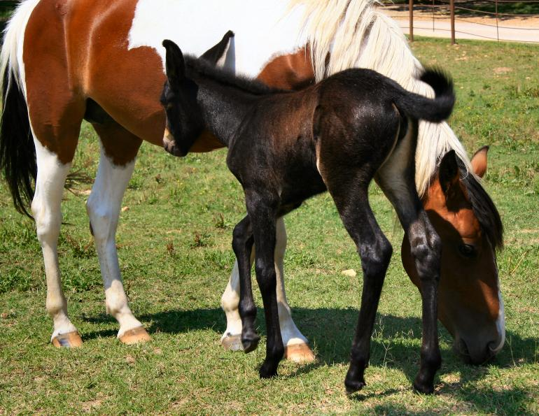 why do most people ride mules and not horses? what are the anotomic differences between horses and mules? comparing horses to mules