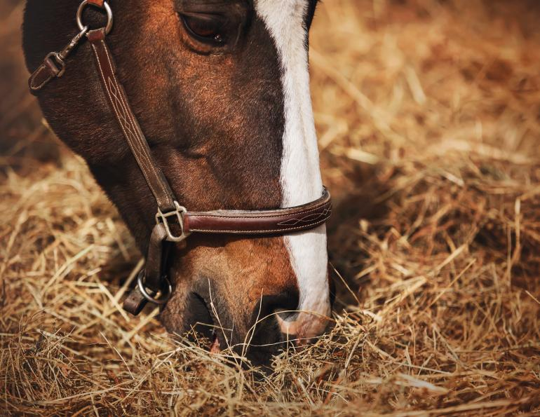 horse nutrition, prevention colic horses, feeding horses hindgut, electrolytes horses, supplements for horses, equine digestive system