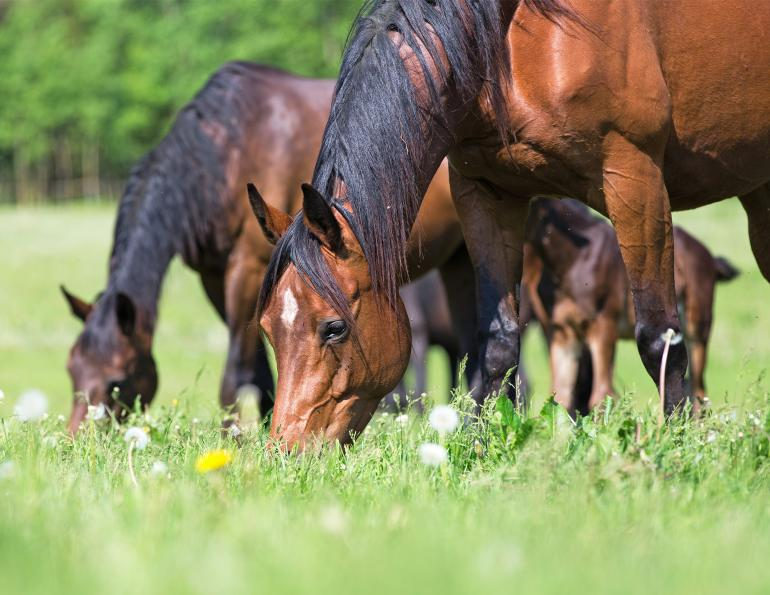 how to prevent colic in my horse, equine guelph horse portal, colic risk my horse, how to introduce spring pasture to my horse, don kapper