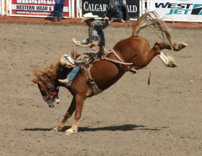 university of calgary study of bucking horses, how do horses and bulls feel about rodeos