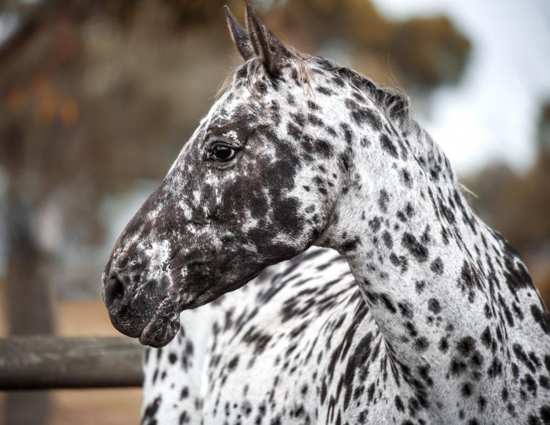 Night Blindness horses, is my horse blind, equine gene mutations, preventing blindless horse, electroretinography horses, csnb2 horse