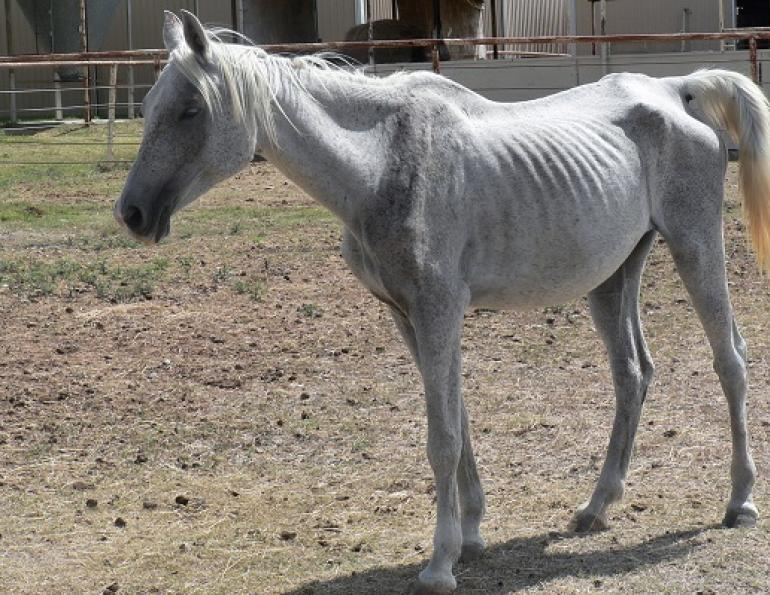 rescue horse, starving horse, malnourished horse, neglected horse, dr getty, juliet getty