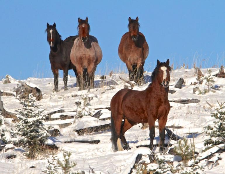 Canada's Wild Horse Herd, sable island horses, 150 years canada horses, ancient horse in canada, equus lambei, sable island national park reserve, horses in chilcotin's brittany triangle