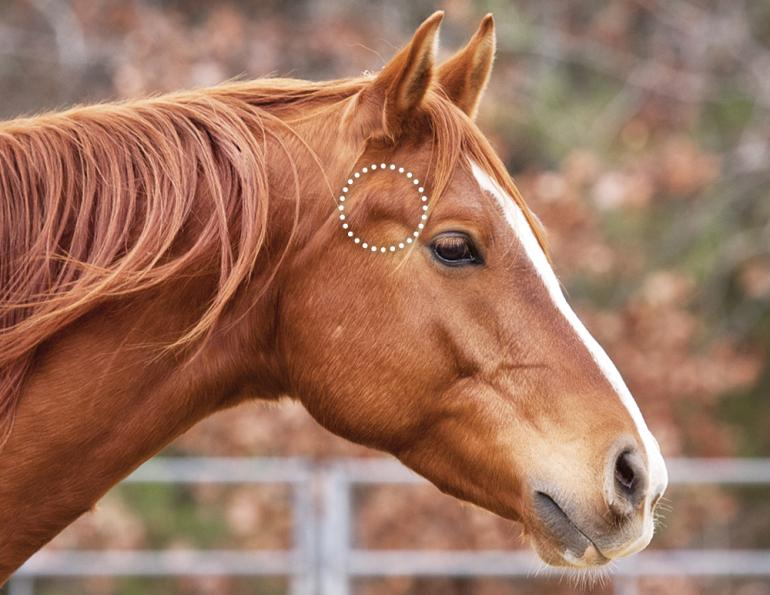 horse tossing head, horse resisting bit, does my horse have tmd? horse misbehaving, equine surgery for tmd, wcvm equine tmd research, margaret evans