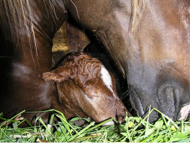 foaling, stress foaling, horse foaling, brandenburg state stud, christina nagel, christine aurich