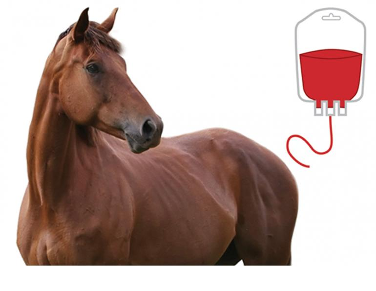 Blood Transfusions for Horses, equine surgery, horse colic, David Paton, Paton Martin Veterinary Services