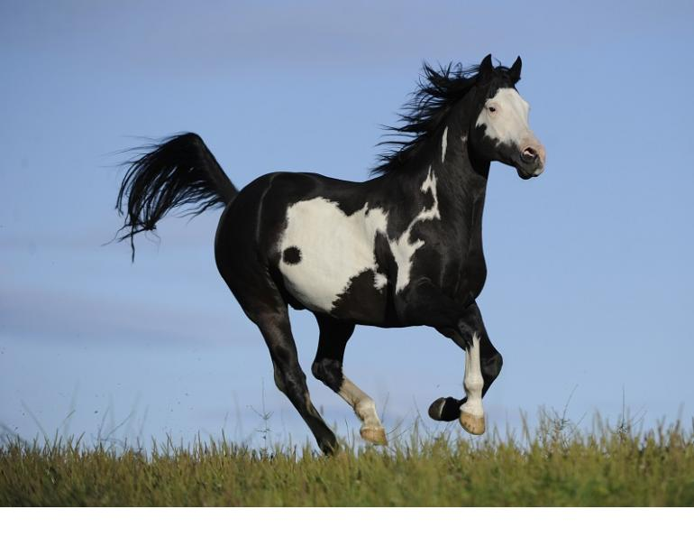 traits of a paint horse, markings paint horse, colours of paint horse, american paint horse