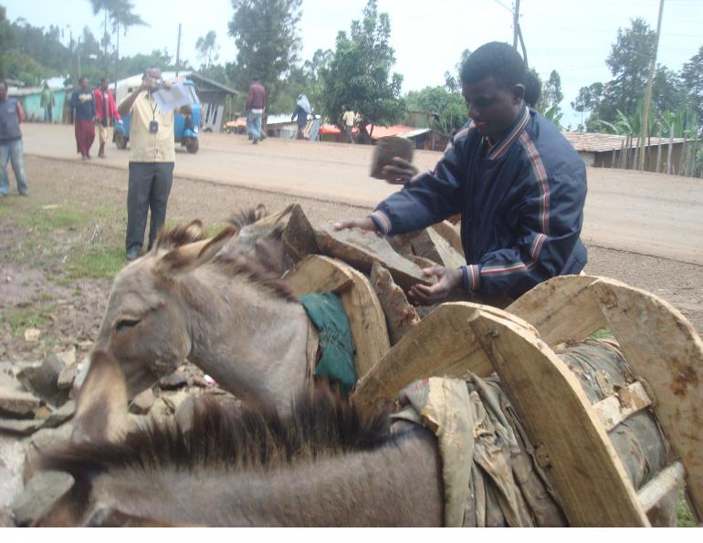 brooke hospital for animals, working equines, helping working animals