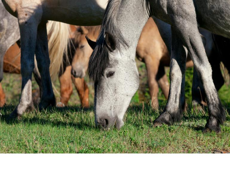 horse deworming, equine deworming, tapeworms in horses, equine tapeworms, Mark Andrews Equine Science Update