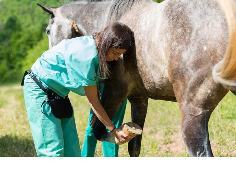 Equine Lameness Evaluation, Dr. Crystal Lee, equine disorder, horse lameness, examining horse, horse flexion test