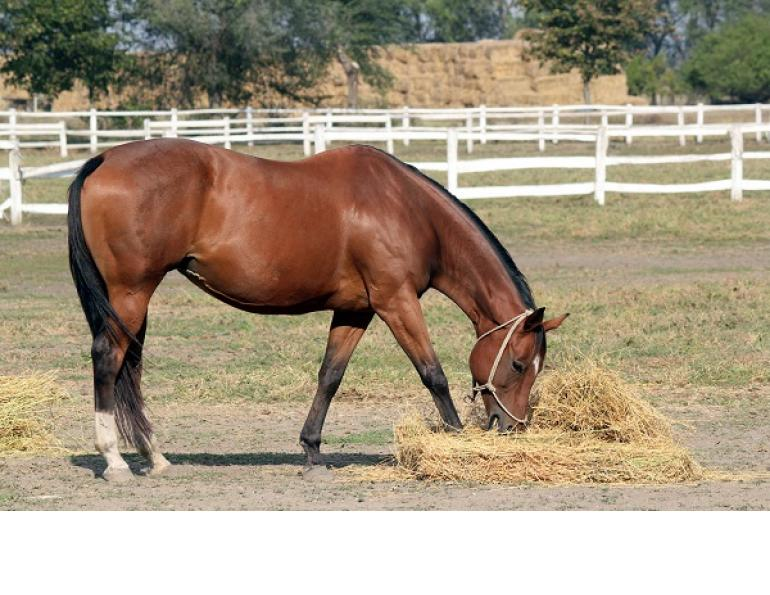 hay belly, overweight horse, obese horse, juliet getty, overweight horse