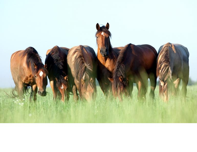equine gastric ulcers horse, equine ulcers prevent horse ulcers, racehorse stress, horse getting too much exercise