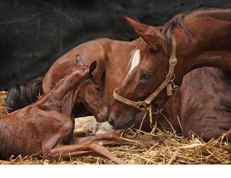 mare is in foal, Foaling Mare, hrose labor, equine labor, delivering a foal safely, theriogenologist, western college of veterinarian, horse twins, vaccinating mare, foaling complication