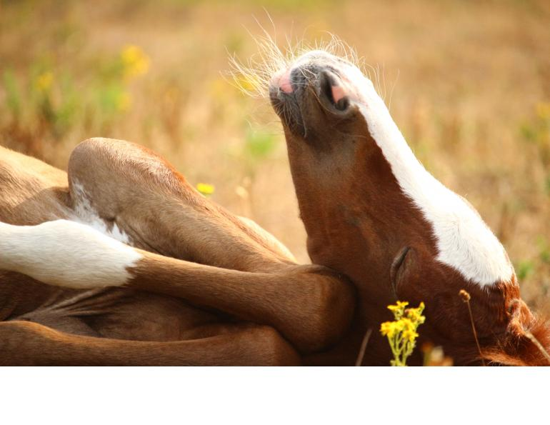 sleep deprived horse, how much sleep does a horse need, do horses need lots of sleep, can a horse sleep standing up, ises, international society of equitation sceince