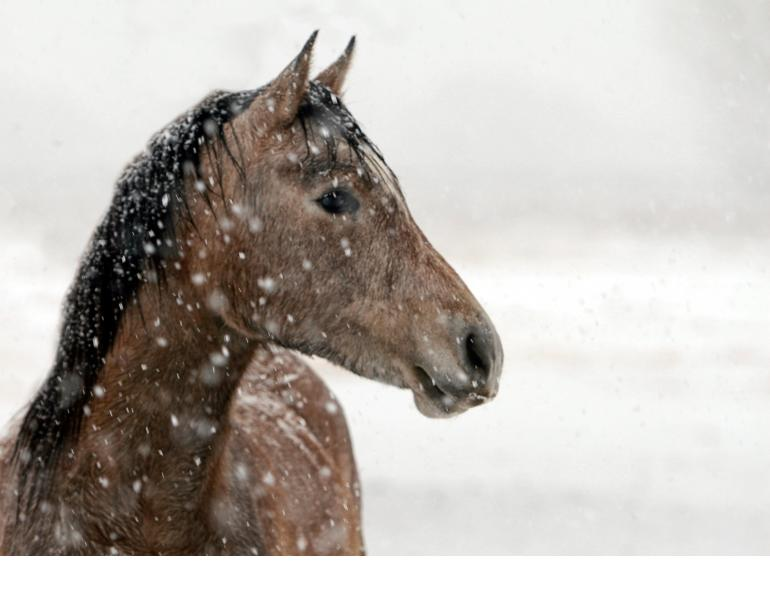 Juliet M. Getty, free forage feeding, horse hay, alfalfa, horse cold weather, horse winter, horse calories