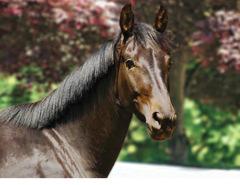 How to Train a horse's Mane, train the equine mane, horse grooming, shorten a horse's mane