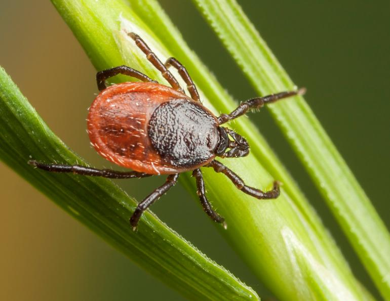 removing ticks from horses, equine guelph, how to get rid of a tick on my horse
