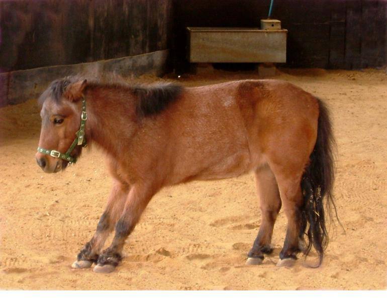 overcoming laminitis, is there medication for laminitis? oral sugar test for horses (OST)