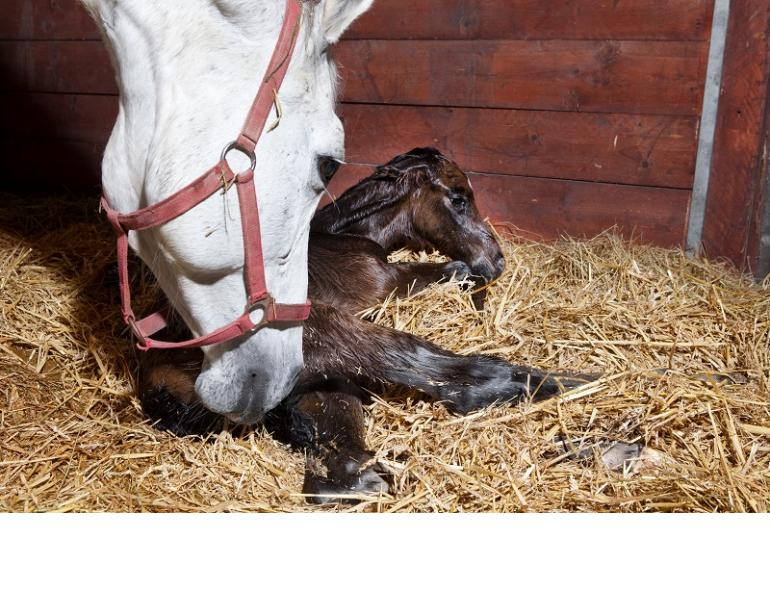 Early Pregnancy Loss in Horses, Equine miscarriage, Royal Veterinary College (RVC) chromosomal defect horse miscarriages, why did my horse miscarriage