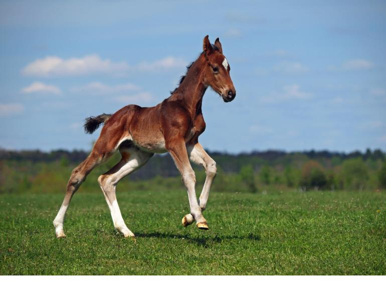 Vaccine Against Foal Pneumonia Morris Animal Foundation's Patsy Link Chair in Equine Research at Texas A&M University foal pneumonia r. equi, vaccines for pregnant mares, Harvard Medical School, rhodococcus equi