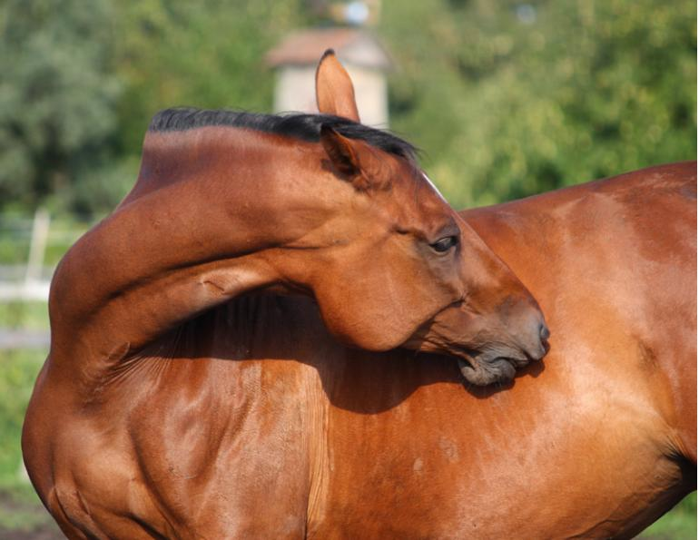 horse self-mutilation syndrome,  Lynne Gunville, Dr. Claire Card, horse skin, unusual horse noises, flank biting, equine self-mutilation syndrome, horse care