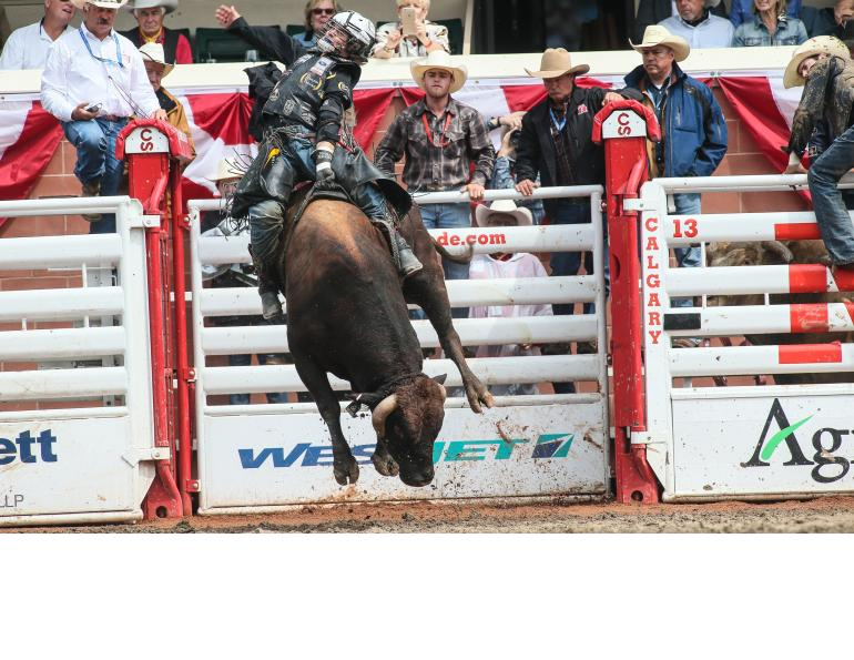 calgary stampede equine events, rodeo calgary stampede, bull riding calgary stampede research anderson-chisholm animal care and welfare, faculty of veterinary medicine university of calgary dr ed pajor