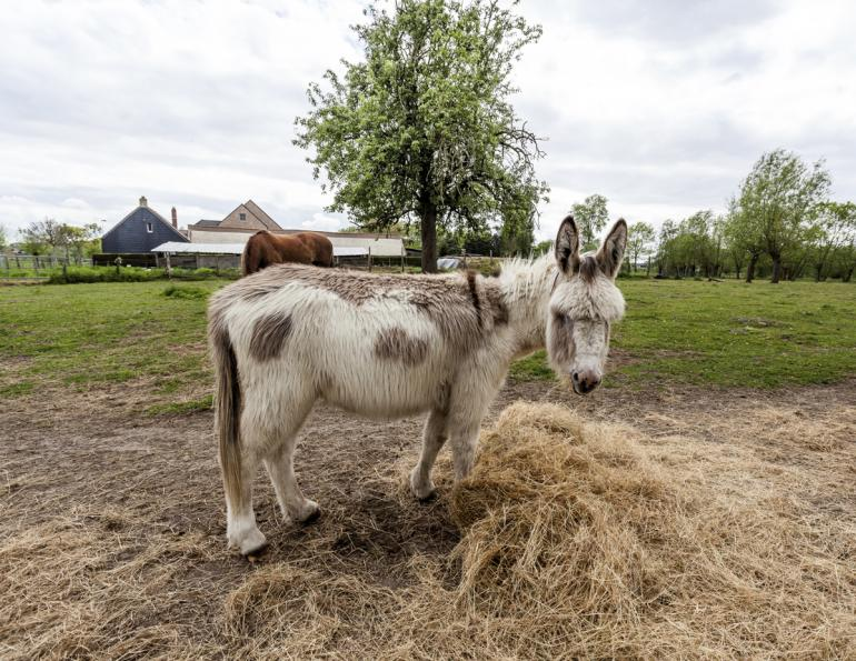 feeding differences between horses and donkeys,  what do donkeys eat?, donkey diet, donkey obesity, donkey feeding strategies, do donkeys and horses eat the same diet?