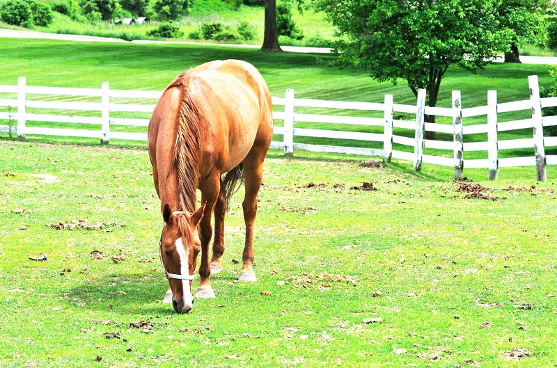 how to deworm horse, why deworm horse, equine intestinal parasites, horse intestinal parasites, horse worms equine parasites horse dr. wendy pearson, herbs for horses